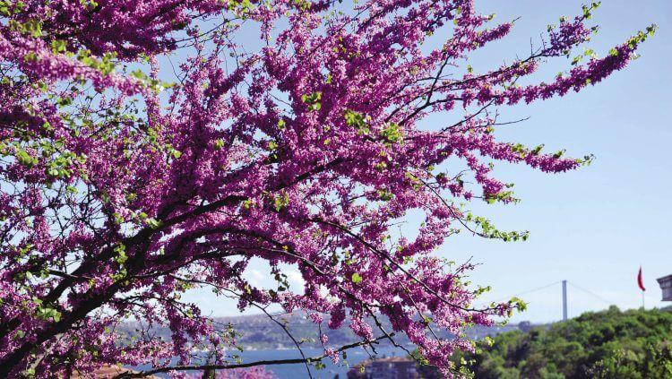 Erguvan Çiçeği